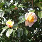 御所錦:産地は久留米。花期は3〜4月