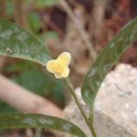 ギルバーティ:産地はベトナム北部、ビンフック省ほか。花期は12〜1月