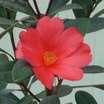 アザレアツバキ:産地は中国、広東省陽春県。花期は7〜11月。中国名は杜鵑山茶