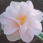 羽衣:江戸椿。花期は3〜4月