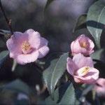 ロゼフローラ:中国産であるが産地の詳細は不明。花期は1〜3月1〜3月。中国名は玫瑰連蕊茶