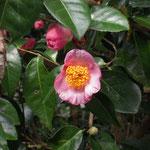愛姫(メゴヒメ):産地は新潟県。花期は10〜4月