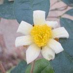 オクトペタラ:産地は中国、浙江省と福建省。花期は11月〜12月。中国名は茶梨油茶