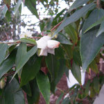 ナギバサザンカ:産地は香港、九竜半島。花期は1〜3月。中国名は柳葉毛蕊茶