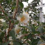 フラテルナ:産地は中国、浙江省ほか。花期は1〜3月。中国名は毛花連蕊茶