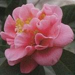 悦牡丹:産地は久留米市。花期は12〜3月