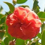 Flower Girl(フラワー・ガール):産地はアメリカ。花期は12〜3月