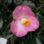 Sunny Side(サニーサイド):産地はアメリカ。花期は3〜4月