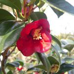 沙夜香侘助:産地は久留米。花期は11〜1月