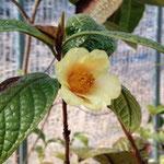 ミノール:産地は中国、四川省塩辺県。花期は1〜2月。中国名は小葉紅山茶