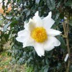 グランサムツバキ:産地は香港。花期は11〜12月。中国名は大苞白山茶
