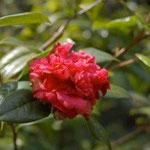 エディタエ:産地は中国、広東省、江西省。花期は1〜3月。中国名は東南山茶、尖萼紅山茶