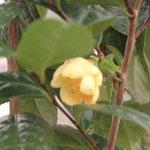 モウズキンカチャ:産地は中国、広西自治区寧明県。花期は1〜2月1〜2月。中国名は毛籽金花茶