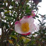 慶雲:産地は熊本県。花期は11〜12月