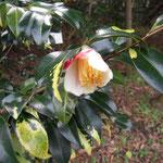 六歌仙:産地は静岡県。花期は12〜3月