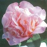 High Fragrance(ハイ・フラグランス):産地はニュージーランド。花期は2〜3月