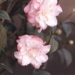 マリフローラ:中国産であるが産地は不明。花期は1〜3月。中国名は櫻花短柱茶