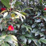 紅子雀:産地は石川県。花期は12〜3月