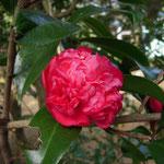 紅荒獅子:江戸椿。花期は9〜4月