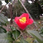 珍秀錦:産地は久留米。花期は3〜4月