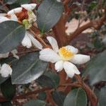 メイオカルパ:産地は中国、広西自治区の各地。花期は10〜12月。中国名は小果油茶