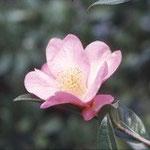 サルウィンツバキ:産地は中国、雲南省の各地。花期は12〜3月。中国名は怒江山茶