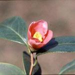 ホウザンツバキ:産地は台湾、鳳凰山。花期は1〜3月