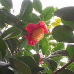 旭の湊:産地は熊本県。花期は3〜4月