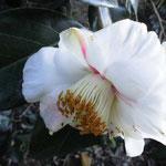 隠れ磯:産地は兵庫県。花期は11〜3月
