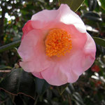 加賀侘助:産地は石川県。花期は11〜4月