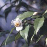 ウスバヒメツバキ:産地は台湾。花期は1~2月