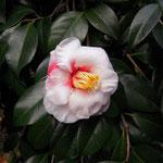 Tama Americana(タマ・アメリカーナ):産地はアメリカ。花期は2〜4月