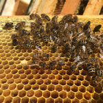 Eine Biene trägt blau-schwarzen Pollen ein - wo sie den wohl gefunden hat?