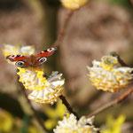 Auch Schmetterlinge finden den Papierbusch überaus attraktiv