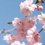 Biene im Landeanflug auf die japanische Kirschblüte