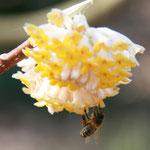 Die weiß-gelbe, wunderbar duftete Blüte des Papierbusches