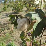 10月~11月 コットンが収穫時期を迎えます。