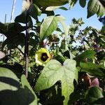 8月~9月 コットンの花です。黄色のかわいいお花が咲きました。