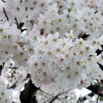 みやもも桜_006