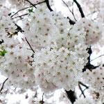 みやもも桜_008