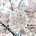 みやもも桜_015
