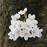 みやもも桜_012