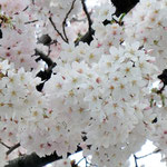 みやもも桜_009
