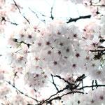 みやもも桜_014