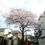 みやもも桜_002