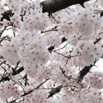 みやもも桜_005