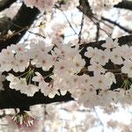 みやもも桜_004