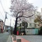 みやもも桜_001