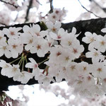 みやもも桜_007