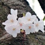 みやもも桜_013